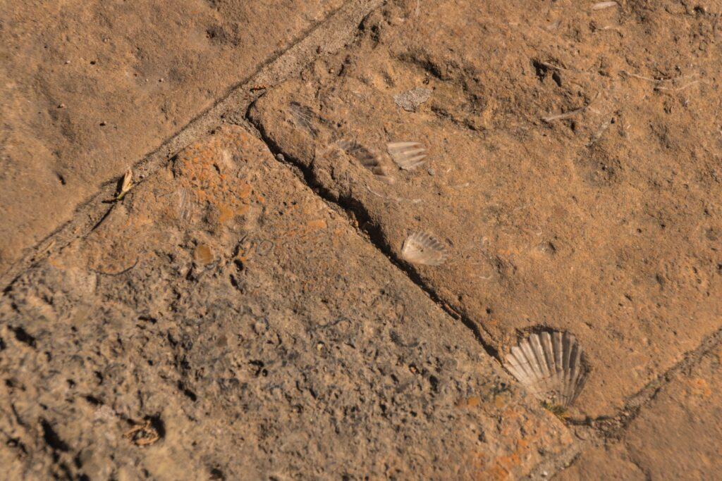 Volterra conchiglie fossili