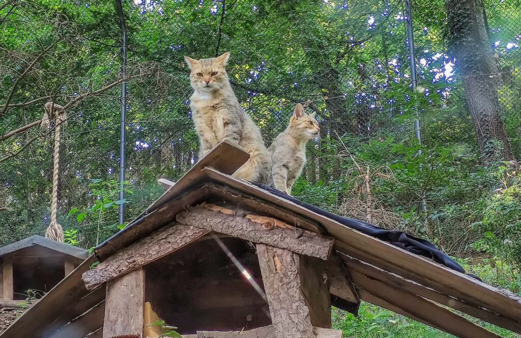 gatti selvatici