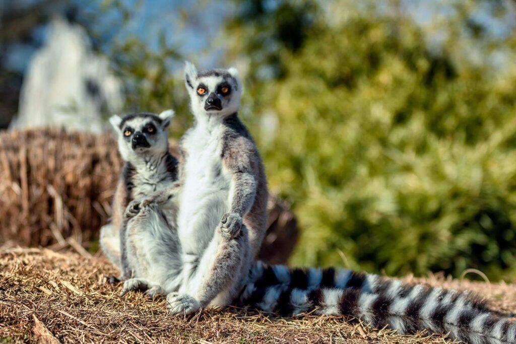 lemuri perplessi