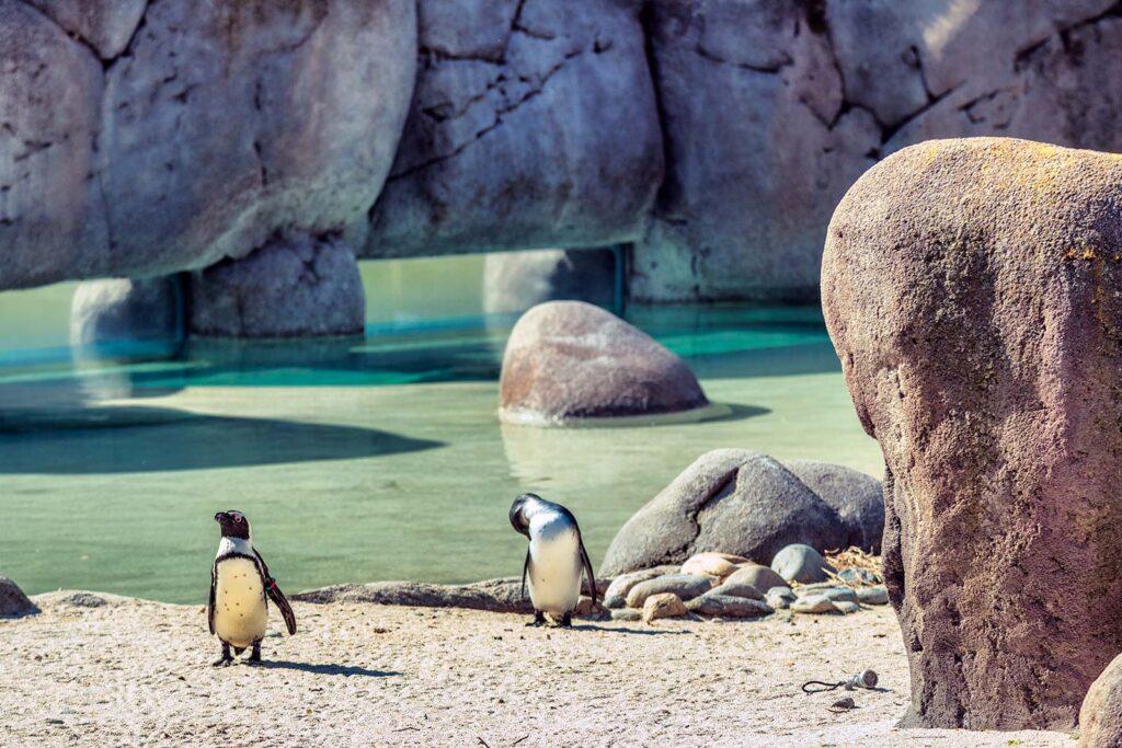 pinguini di fianco alla bolder beach