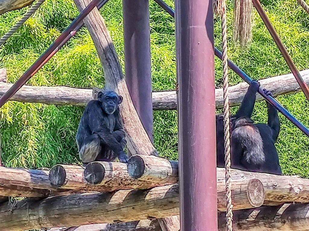 saltri scimpanzé