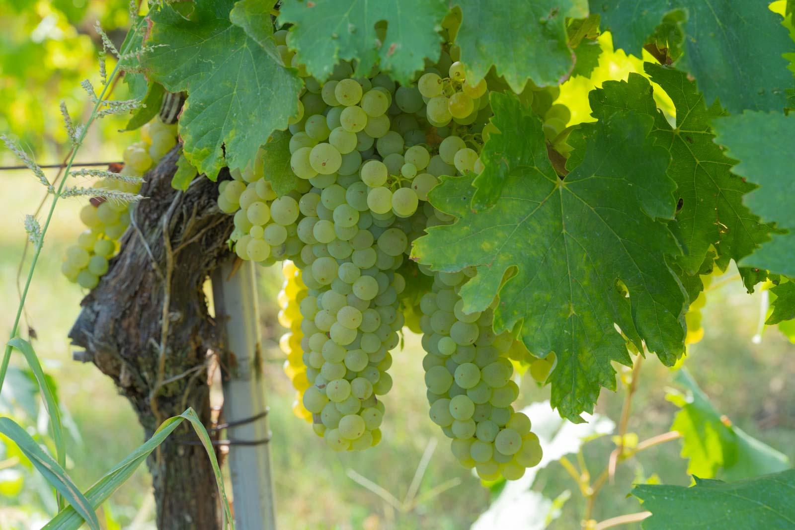 vino marchigiano